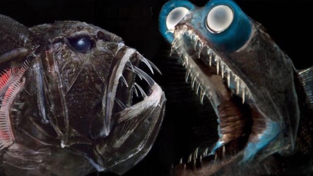 这些现实存在的恐怖深海鱼 有四只眼睛可吞掉雌性变成睾丸