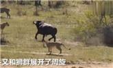 ?#25103;?#19978;演史诗级战斗:水牛狮群鳄鱼大混战!