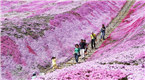 北海道芝樱盛放 游客徜徉?#20301;没?#28023;