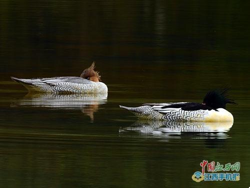 中华秋沙鸭是中国特有的珍稀鸟类 20只中