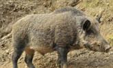 小伙出去游玩听到野猪嚎叫,循着声音走过去,却发现意外收获!