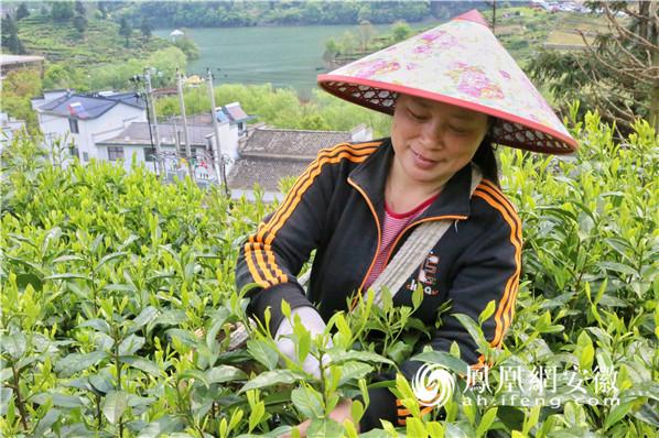 黄山:太平猴魁开园采摘 手工制茶香飘万里