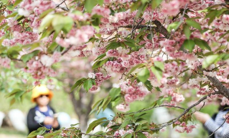 櫻花美景引游人