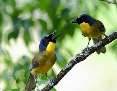 黄喉噪鹛爱上婺源 全世界范围内仅存不足200只
