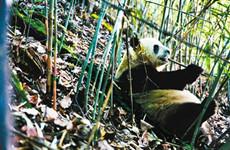 佛坪或将建大熊猫繁育救护基地 已开始调研建设选址