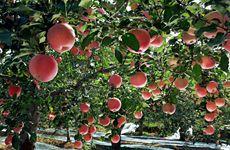 陕西新添凤翔苹果、柞水黑木耳两个全国名特优新农产品