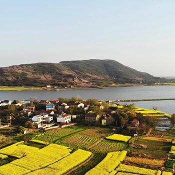 安徽赏花地图|枞阳 油菜花开遍地金