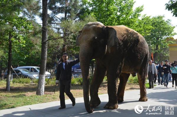 父亲挽着盈珠,走向婚礼殿堂,一路上,新年子用鼻子好奇地咚咚拍着地玩,心情十分愉悦 4月28日,一场别样的婚礼在秦岭山脚下上演。秦岭动物园的大象阿昆与来自云南动物园的大象盈珠大婚,5吨重的新郎与3吨重的新娘可谓年度最具分量的婚礼。 上午十点,蒙古骑士驾着十余匹汗血宝马组成迎亲马队,婆家代表与伴郎伴娘团手捧花束,怀抱四样礼等待接亲。这么大张旗鼓的娶媳妇,在象界可是头一遭。 握手、亲吻、拥抱、喂食.