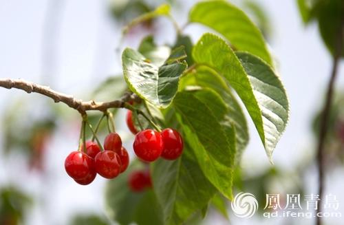 五月的崂山北宅樱桃又红了