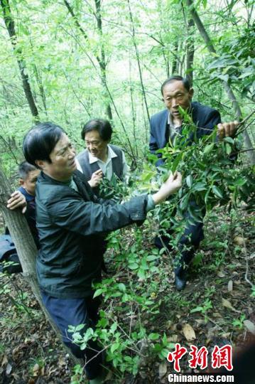 成蔸生长的苦太和茶树。