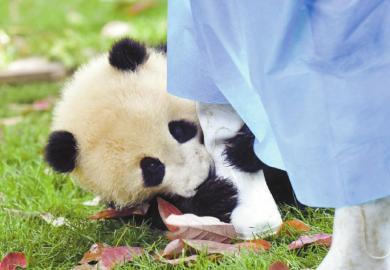 喂完水后,一只幼年熊猫紧紧抱住梅燕的腿不让她离开。
