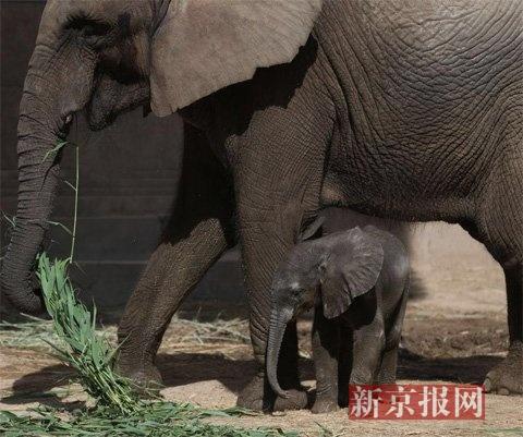 """北京动物园非洲象家族再添""""男丁"""""""
