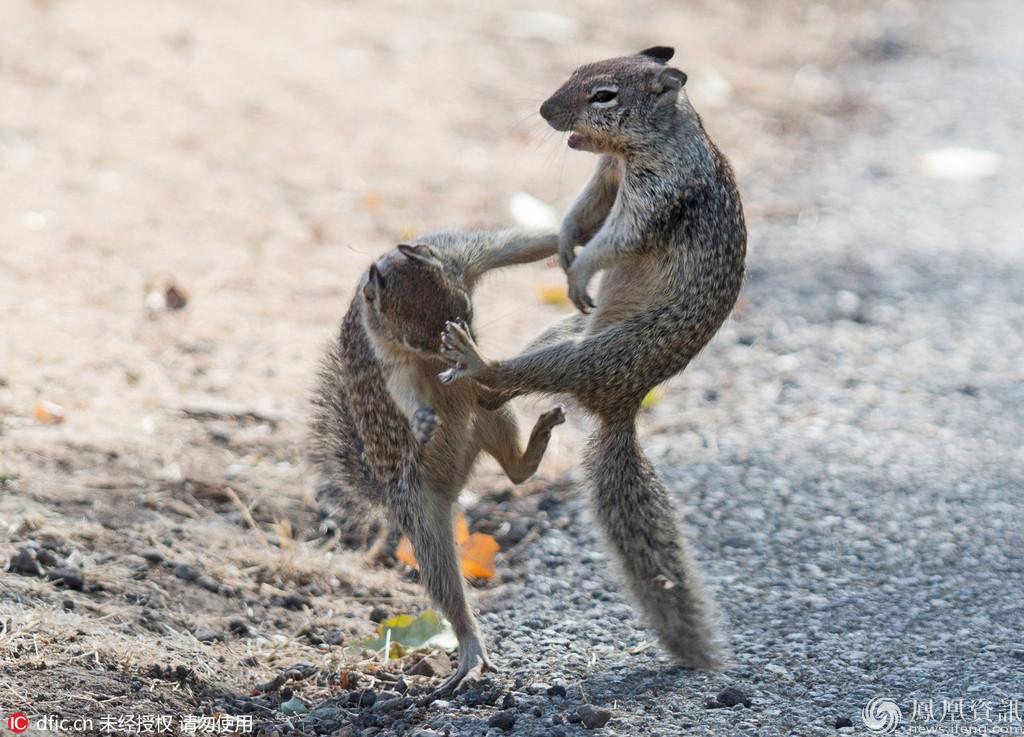 两只街头搏斗的松鼠