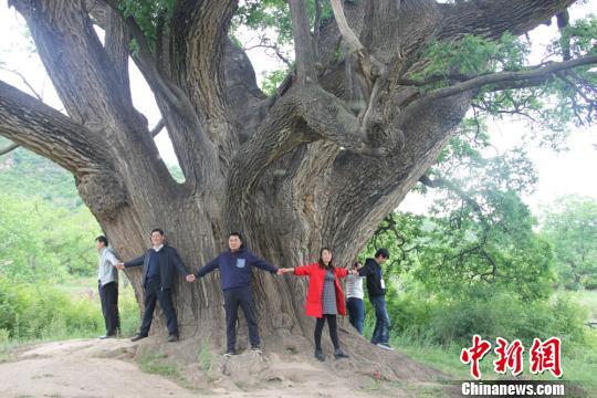 图为参观者展开双臂环抱古槐树干。 李�h 摄