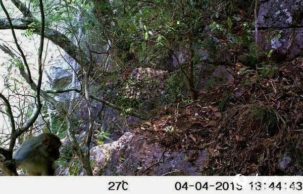 云南景谷首次发现国家一级保护野生动物灰叶猴(图)