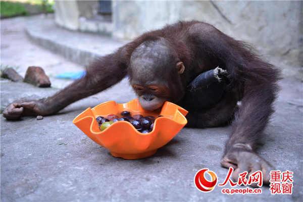 重庆动物园为小猩猩配的冰凉水果餐.