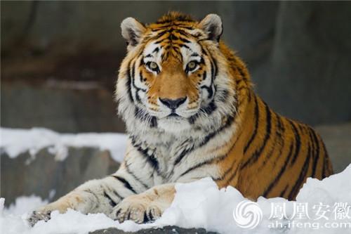 东北虎是现存体重最大的猫科动物之一