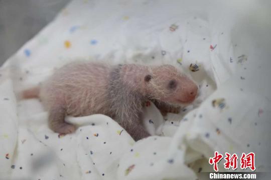 刚出生的熊猫宝宝呈肉红色