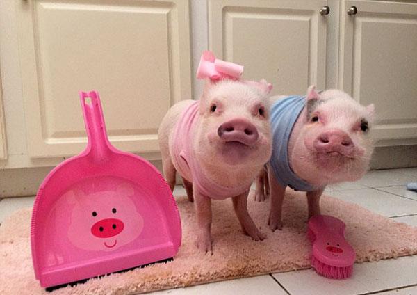 萌翻!这大概是世界上最爱打扮的一对小猪了