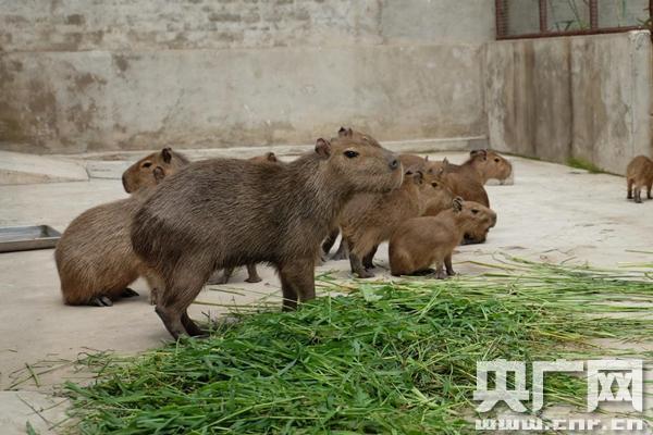 """世界上最大""""老鼠""""水豚来津"""