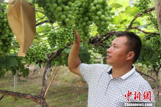 三都普安县葡萄种植户杨胜友和他种植的葡萄。时杰
