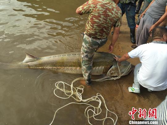 黑龍江同江漁民捕獲一條400斤重罕見鲟鳇魚 李佳宸 攝