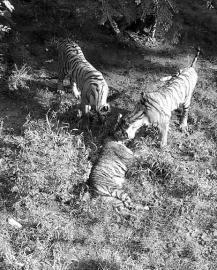 长春动植物公园一只老虎被咬死(图)