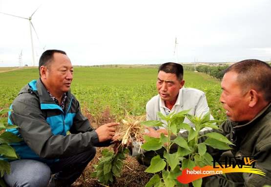 孙军(左一)和村干部查看菊芋长势。胡年帅 摄