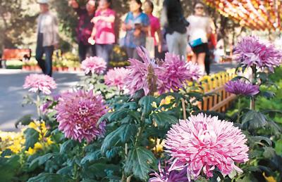 图为在新疆乌鲁木齐市植物园内,市民们观赏菊花.