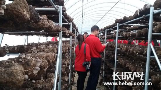 天生桥镇食用菌产业核心区。长城网张天虎摄