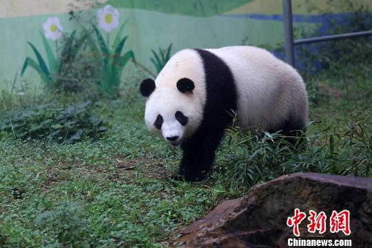 大熊猫姐妹花落户江苏溧阳南山竹海首亮相