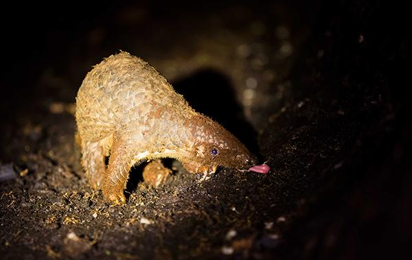 穿山甲列入濒危物种贸易公约最高保护