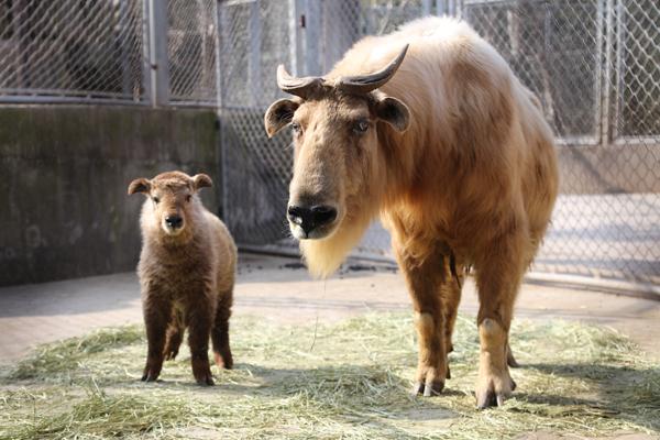 在上海野生动物园,小动物乐园是动物宝宝的幼儿园