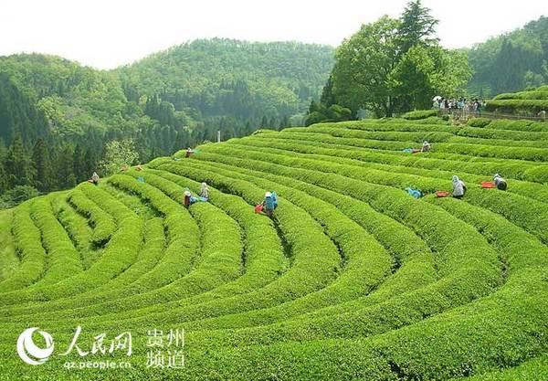 景色宜人的茶海