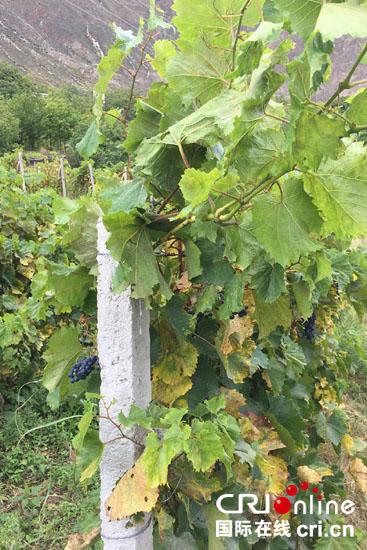 在达许村,家家户户都种植了这样的葡萄,一是自己家食用,二是卖给附近的酒厂增加收入