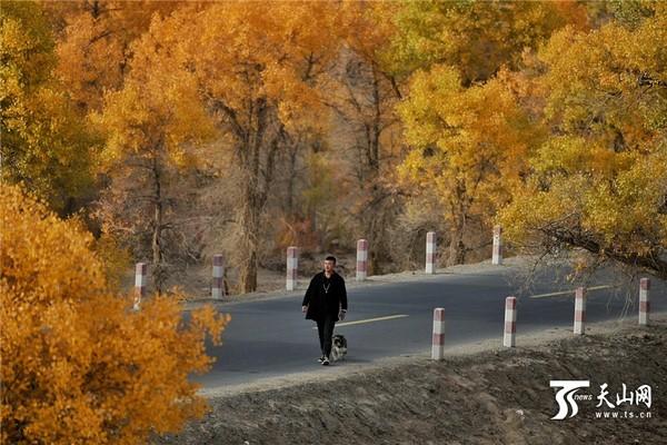 绿变黄, 位于新疆塔里木河尉犁县段的胡杨林就进入了一片金色的世