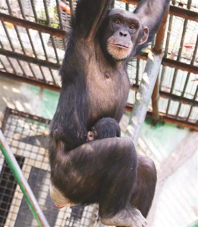 徐升)南京红山森林动物园的黑猩猩