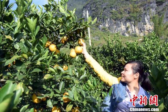 游客在德保县都安乡千亩扶贫果场采摘脐橙。 蒋雪林 摄