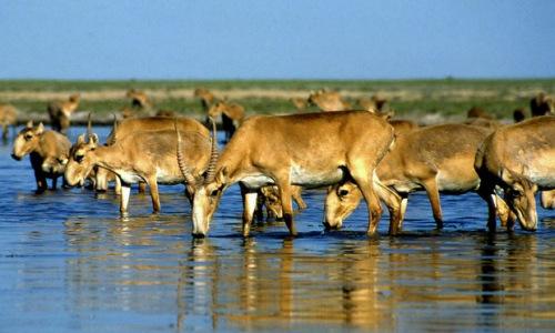 资料图片:羚羊。