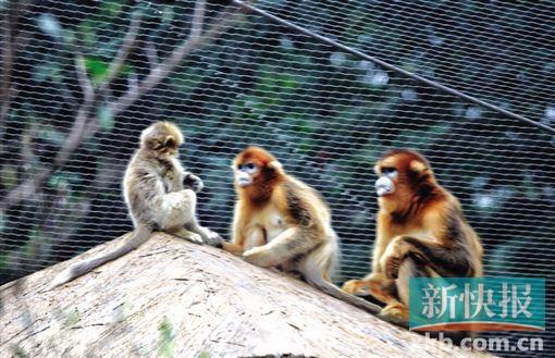 """广州动物园周岁""""最美金丝猴""""名叫""""明亮"""""""