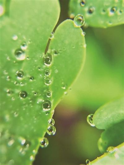 用微距镜头拍出的效果,绿叶上小小的水珠活泼可爱.