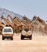 长颈鹿横穿马路