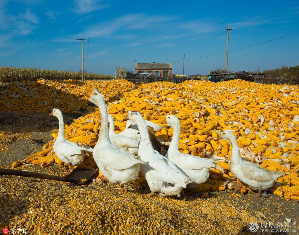 黑龙江:玉米丰收 农家院里堆到院外