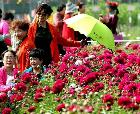 河南許昌:芍藥花開香滿園