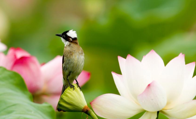 赏荷季 鸟与荷花媲美