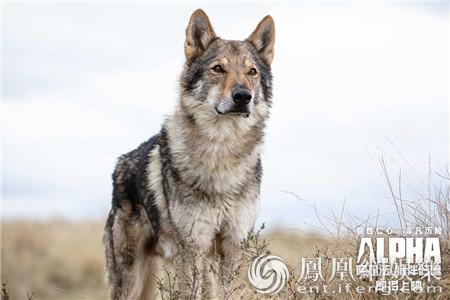 《阿尔法:狼伴归途》曝海报及预告 人狼赴惊险之旅
