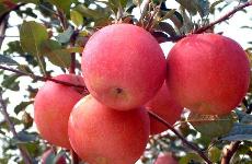 陕西省早熟苹果采收销售进入旺季 价格普遍高于上年