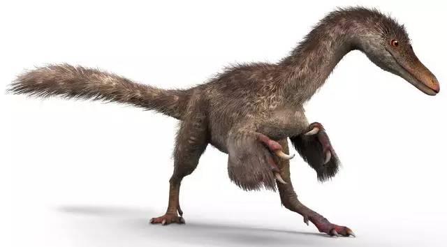克龙弗兰德犬-据介绍,手盗龙类是虚骨龙类的一个演化支,其中不乏一些非常小的个高清图片