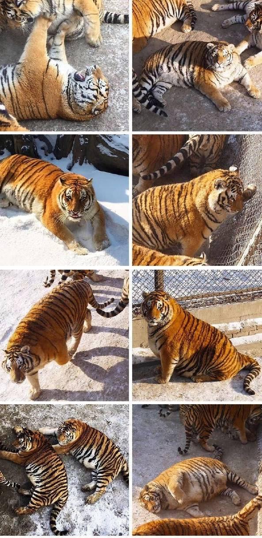 老虎有多猛,看完这几幅图就知道了 - 闲云野鹤  - 闲云野鹤 博客
