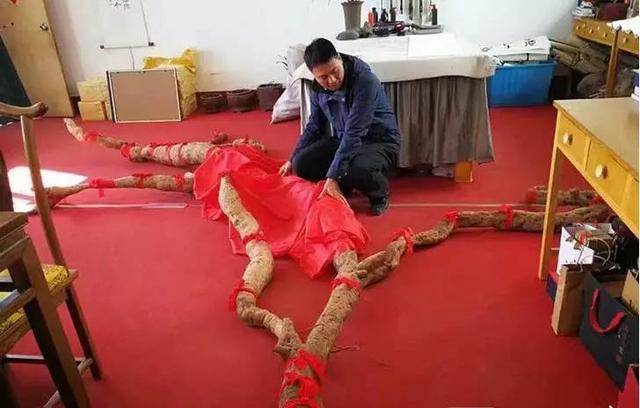 """济源惊现罕见巨型野生""""亚洲人参"""" 重约300斤"""